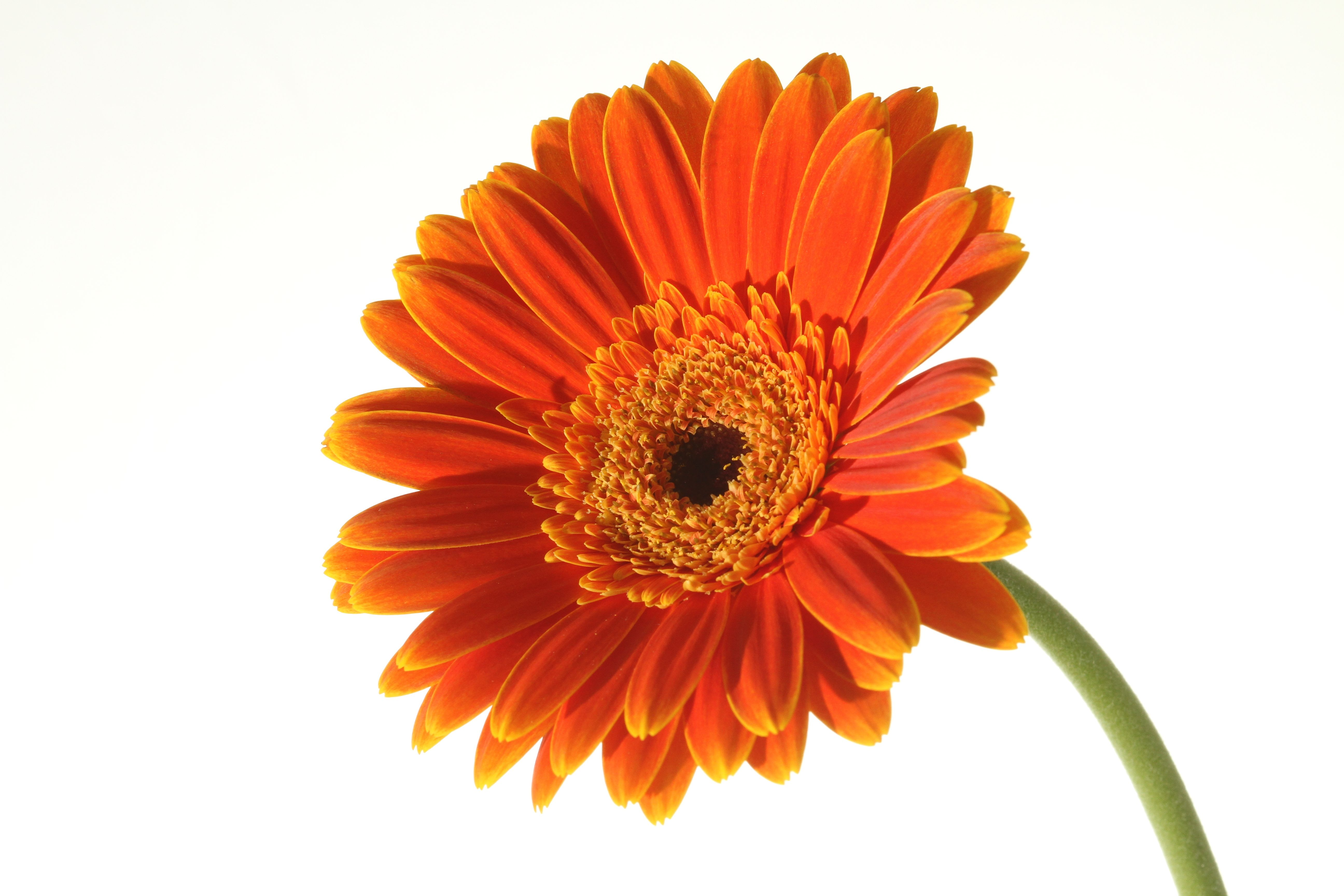 Focal length side lit gerbera against white background side lit gerbera against white background dhlflorist Image collections